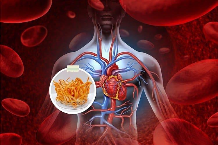 Vai trò của đông trùng hạ thảo đối với hệ tim mạch